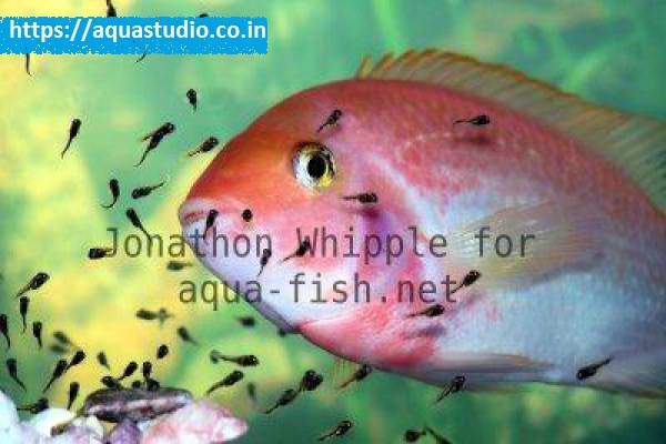 buy Window cichlid Ahmedabad Gujarat India