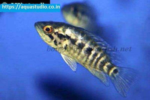 buy Wolf cichlid Ahmedabad Gujarat India