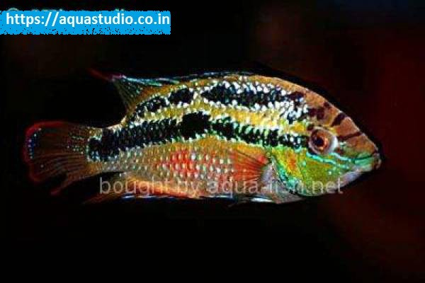 buy Yellow belly cichlid Ahmedabad Gujarat India