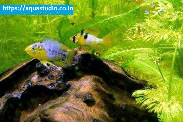 buy Yellow dwarf cichlid Ahmedabad Gujarat India