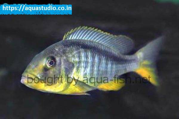 buy Yellow lepturus cichlid Ahmedabad Gujarat India