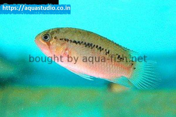 buy Zebra acara Ahmedabad Gujarat India
