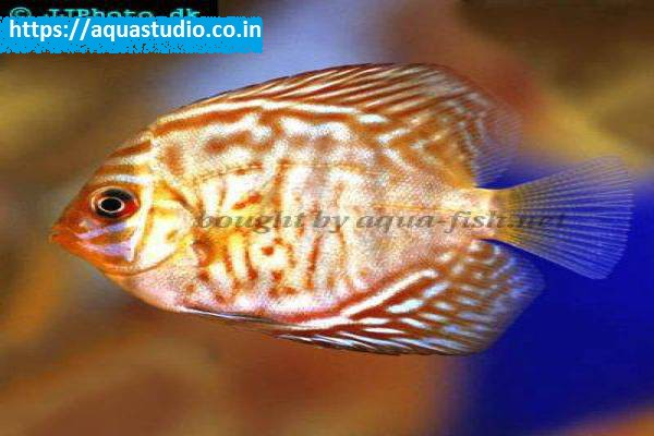 buy Zebra discus Ahmedabad Gujarat India