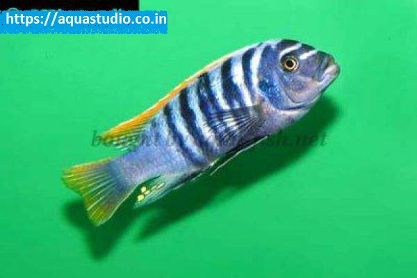 buy Zebra mbuna Ahmedabad Gujarat India