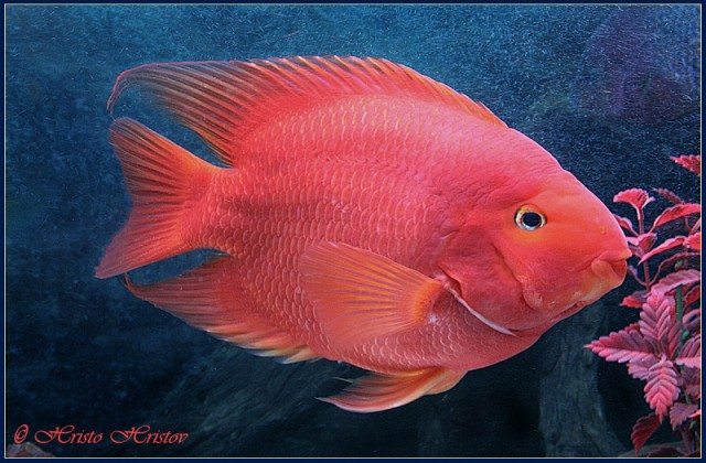 buy red parrot fish Ahmedabad Gujarat India