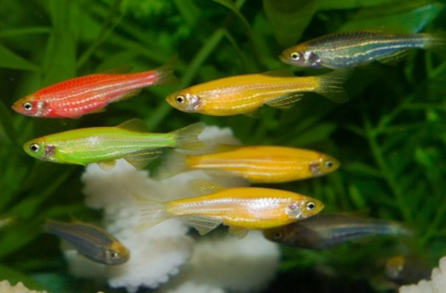 Buy Zebra danio fish at AquaStudio