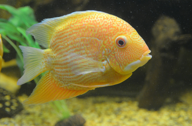 buy Cichlids Ahmedabad Gujarat India