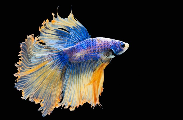 buy Betta - fighter fish Ahmedabad Gujarat India
