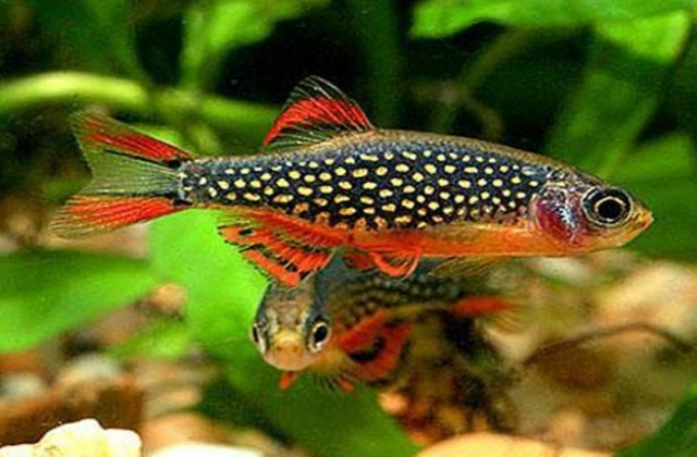 buy Rasbora fish Ahmedabad Gujarat India